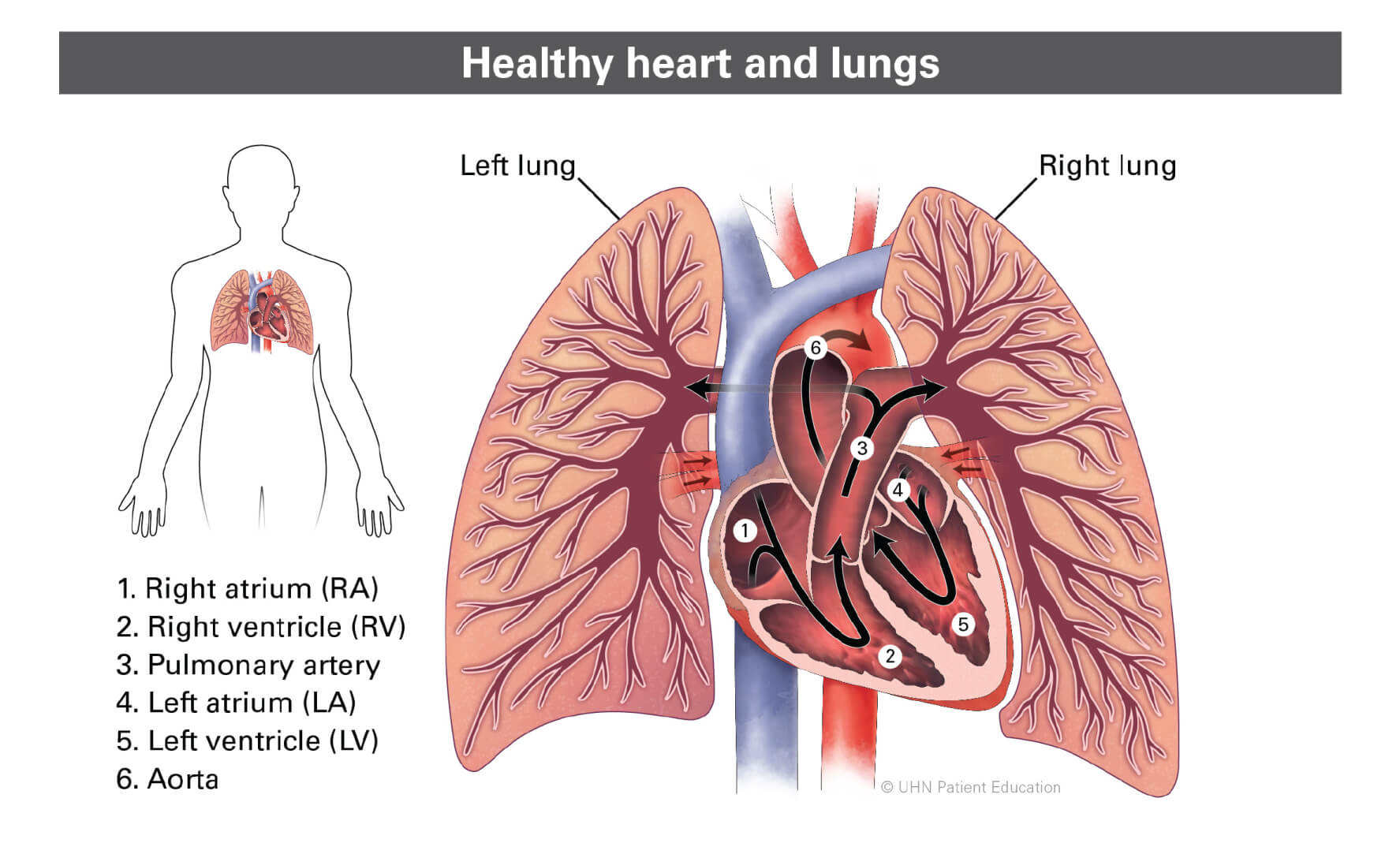 Diagram of heart and lungs pointing to each part; right and left lungs, Right Atrium, Left Atrium, Right Ventricle, and Left Ventricle